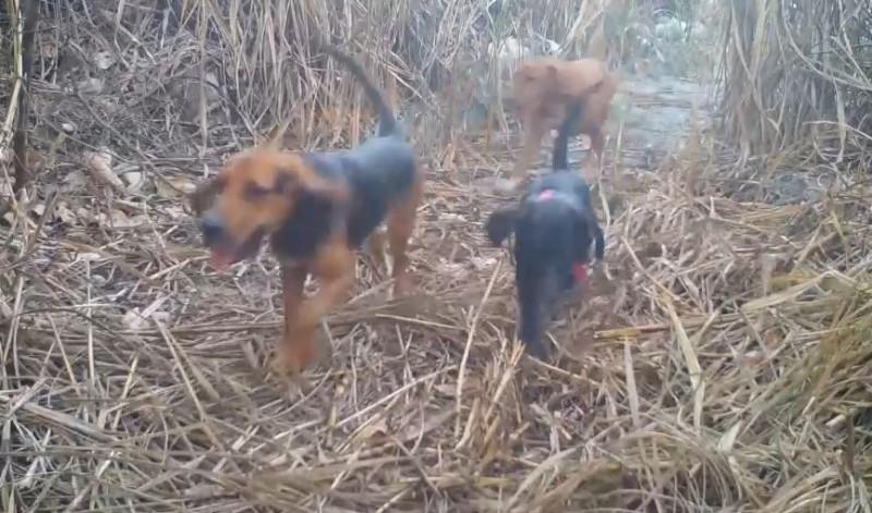苗栗縣政府調閱石虎棲地監視器畫面,發現附近常有民眾飼養獵犬出沒。(記者鄭名翔翻攝)
