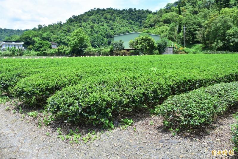 台茶十七號茶樹與翠玉、金萱等茶樹相比,樹形較大,且茶樹枝幹強壯,有產量大優點。(記者張議晨攝)