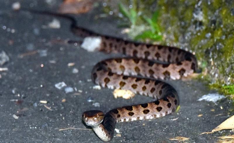 南投縣魚池鄉許姓男子在散步途中連遇3種毒蛇,圖為龜殼花。(記者謝介裕翻攝)