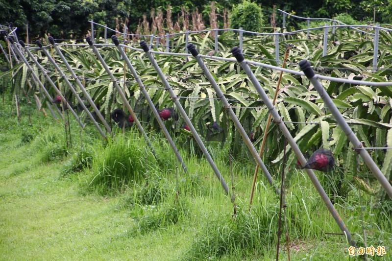 蔡銘旺的紅龍果園採草生栽培。(記者林宜樟攝)