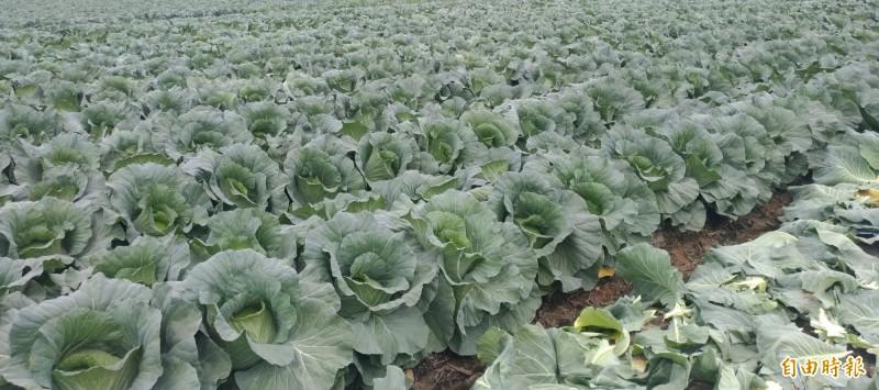 常常傳出農田農作物被偷案件,如何判決?恐怕連法官都很傷腦筋。(記者廖淑玲攝)