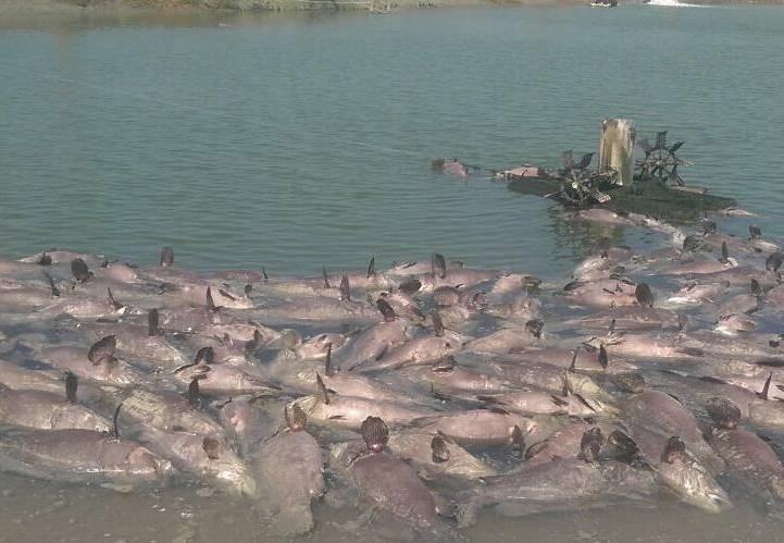 南市輔導的黃姓新農人,5處養殖魚塭昨日因停電造成魚蝦大量死亡,市府獲報後協助處理補償、復養等問題。(圖由南市農業局提供)