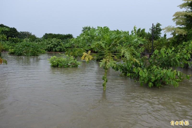 雲林縣莿桐鄉榮村部落淹水,木瓜幾乎滅頂。(記者林國賢攝)