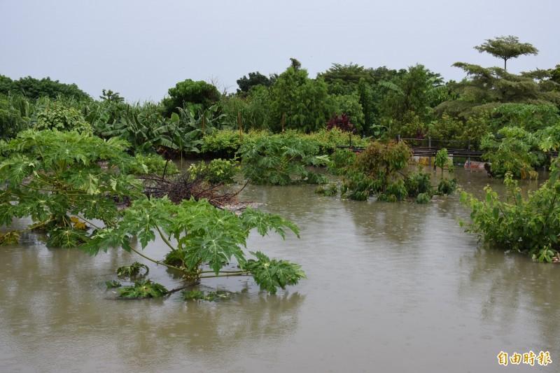 雨炸雲林,木瓜園幾被水淹沒。(記者林國賢攝)