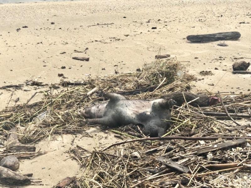 13日中午在墾丁萬里桐潮間帶發現的豬屍。(屏東縣動物防疫所提供)