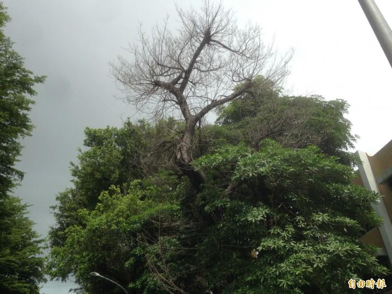 榕樹枯死前,樹枝炸開拚命求生。(記者黃旭磊攝)