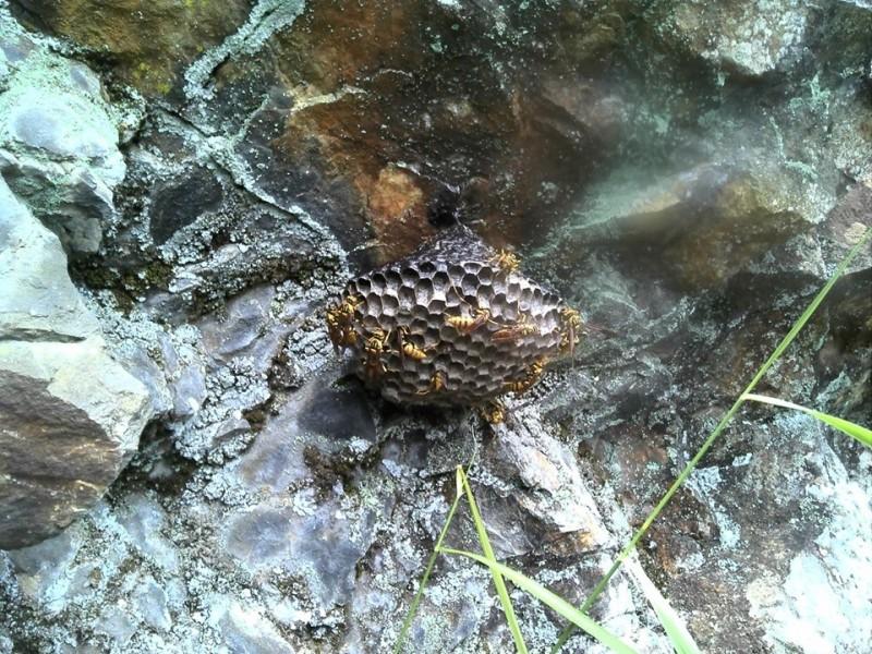 玉山國家公園八通關步道靠近雲龍瀑布路段,石壁上出現黃長腳蜂的蜂巢,玉管處獲報緊急摘除。 (玉管處提供)