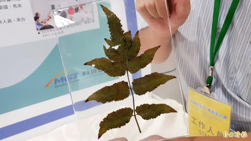 清大分子與細胞生物研究所教授李家維團隊跟越南合作植物保育,發現新物種「南越聖蕨」(記者簡惠茹攝)