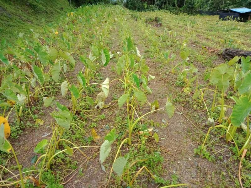 茂林區芋頭也受損。(記者陳文嬋翻攝)