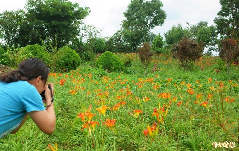 花蓮赤科山金針花綻放,吸引遊客拍照賞花,不過目前花開約5成,預計20日以後盛開。(記者花孟璟攝)