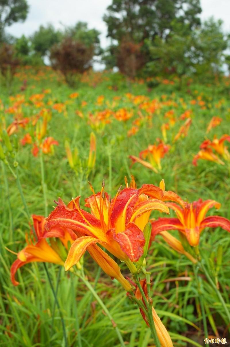 陳錦竹所自行培育的橘紅色金針花品種,花色鮮豔且花期很長,可提早一個月綻放,讓金針花海觀光可以做滿一個暑假。(記者花孟璟攝)