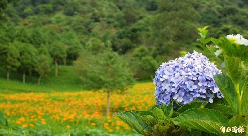 赤科山的金針花地景豐富多變,山上種的紫色繡球花與金黃色金針花相映成趣。(記者花孟璟攝)