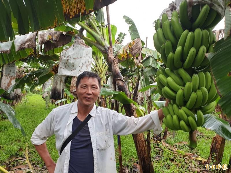 萬巒鄉55歲農民簡良智工程師出身,卻種香蕉種出心得。(記者羅欣貞攝)