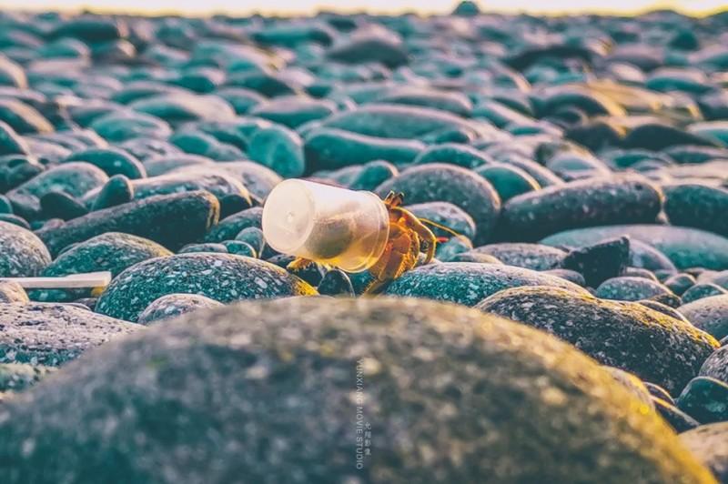台東縣三仙台的寄居蟹,背著透明塑膠杯生活。(柯發壽授權提供,記者林宜樟翻攝)