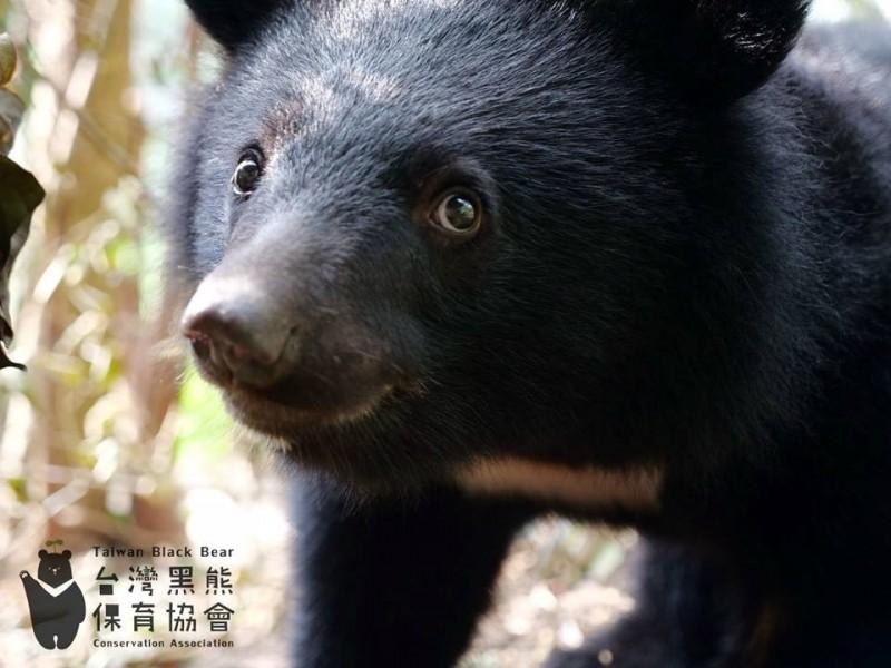4月底野放的南安小熊追蹤用項圈脫落,行蹤成謎,引發各界關注。(圖取自facebook.com/TBBCA)