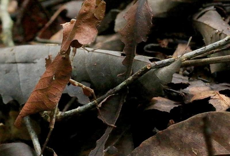 如果只看身體,枯葉螳螂與枯葉跟本無從分辨。(吳首賢提供)