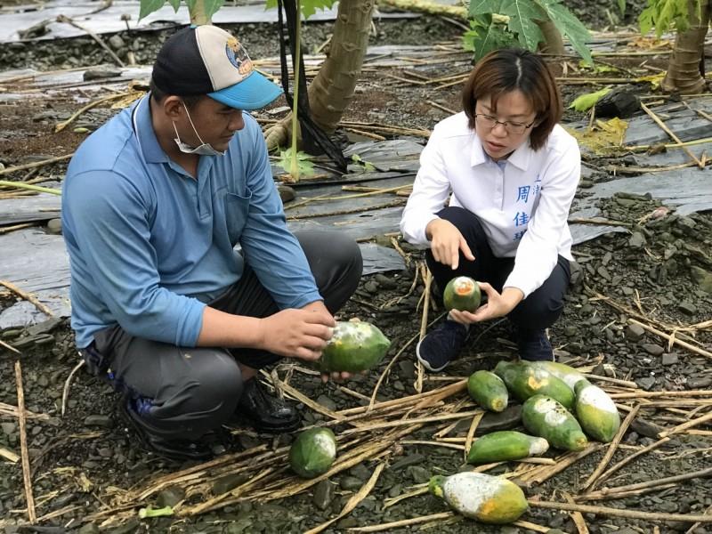屏東縣的木瓜等蔬果因為連日大雨受損嚴重。(記者葉永騫翻攝)