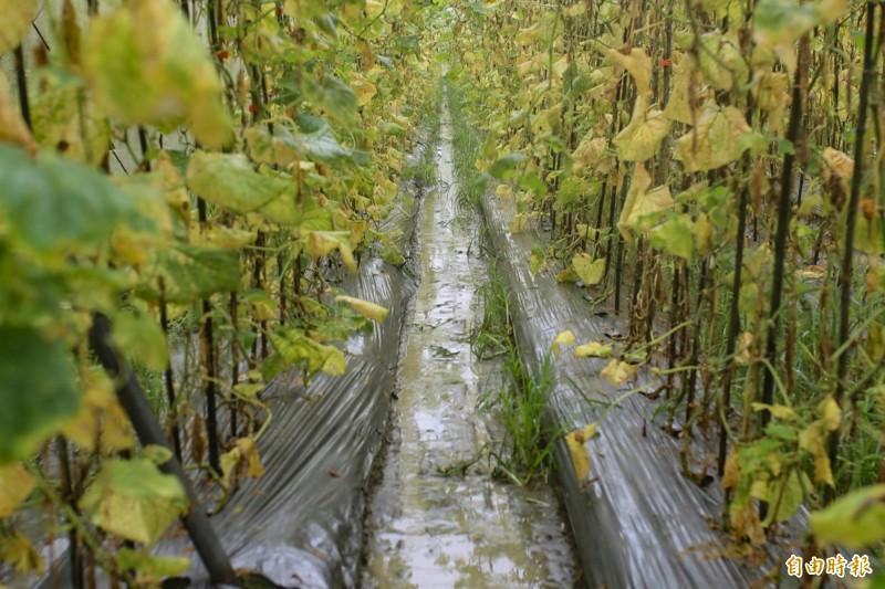 小黃瓜園整片枯黃,產量剩不到兩成,價格翻倍漲。(記者邱芷柔攝)