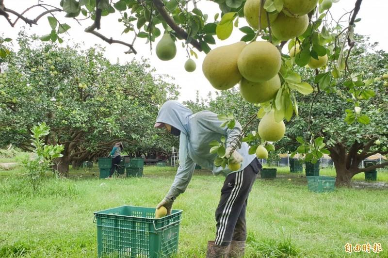 今天下小雨,下午放晴,柚農趕緊採收麻豆文旦。(記者楊金城攝)