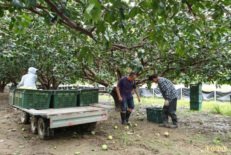 麻豆柚農僱工搶收麻豆文旦。(記者楊金城攝)