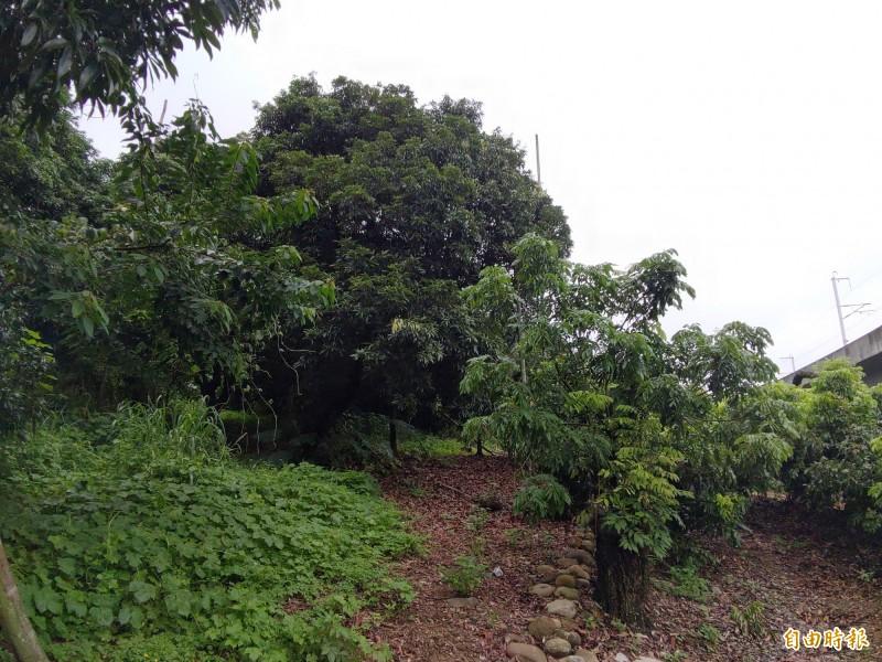 劉家龍眼果園矮化後與後方高大龍眼樹形成強烈對比。(記者陳冠備攝)