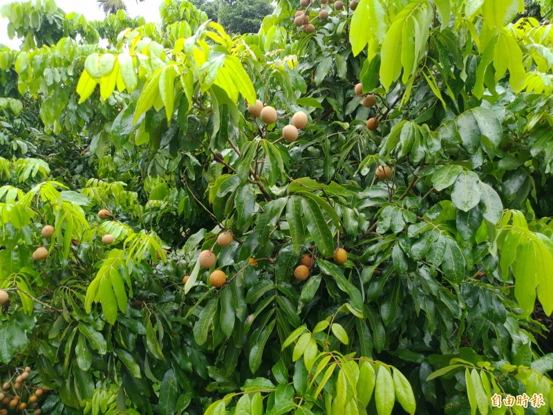 受荔枝椿象侵襲的龍眼結果稀稀疏疏,所以產量大減。(記者陳冠備攝)