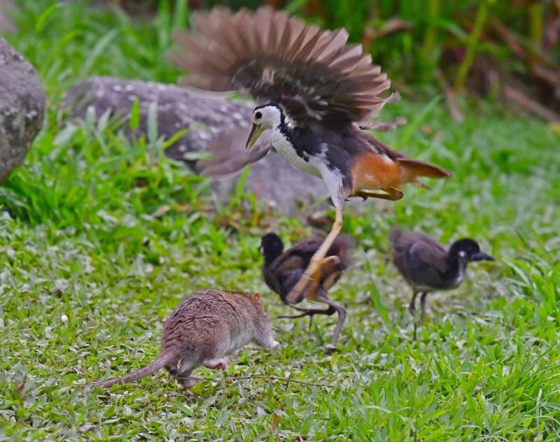 白腹秧雞勇敢對抗大肥鼠,展現為母則強的一面。(拍鳥俱樂部成員杜金龍提供)