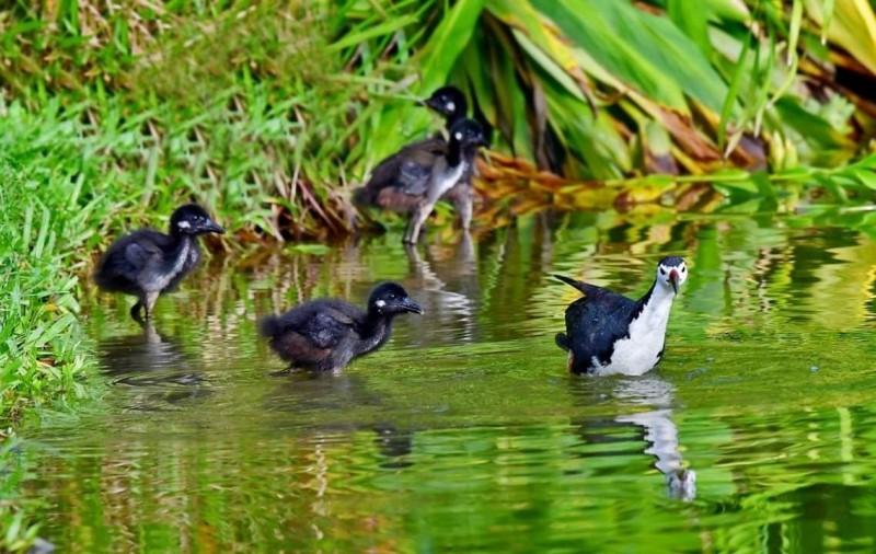 杜金龍在新店裕隆公園拍攝白腹秧雞育雛。(拍鳥俱樂部成員杜金龍提供)