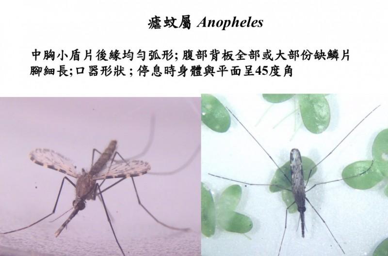 瘧蚊外觀。(台南市衛生局提供)