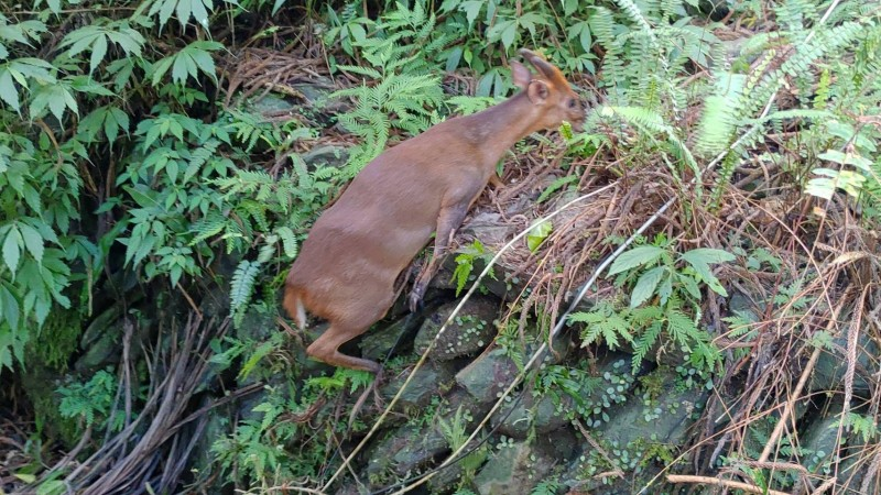 宜蘭縣古魯林道一隻受困陷阱的山羌,獲及時營救,重回山林懷抱。(圖由羅東林管處提供)