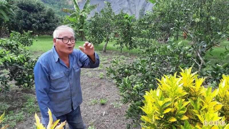 66歲農民陳旺生住在老咖啡樹旁,述說老樹的故事。(記者黃明堂攝)
