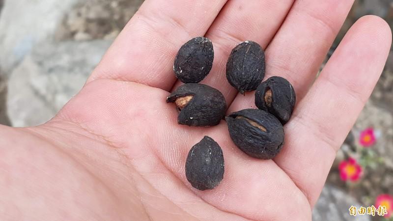 老咖啡樹的咖啡子。(記者黃明堂攝)