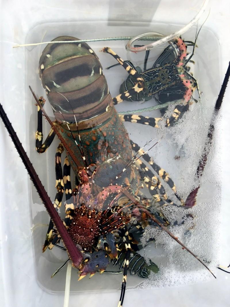 5斤大龍蝦與左下角的小龍蝦。(記者黃明堂翻攝)