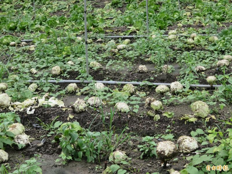 連續降雨已造成高麗菜損失,隨著白鹿颱風形成,市府籲請農民加強防範。(記者陳文嬋攝)