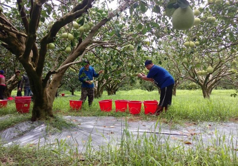 花蓮柚農採收柚子。(柚農羅峰提供)
