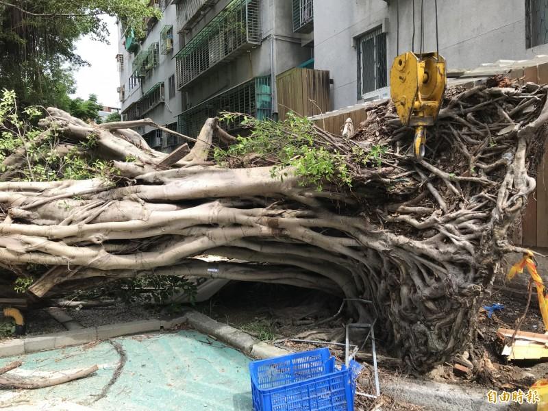 河堤里里長表示,這棵樹木樹齡已經約五十年,因為褐根病加上強風而倒下。(記者蔡思培攝)