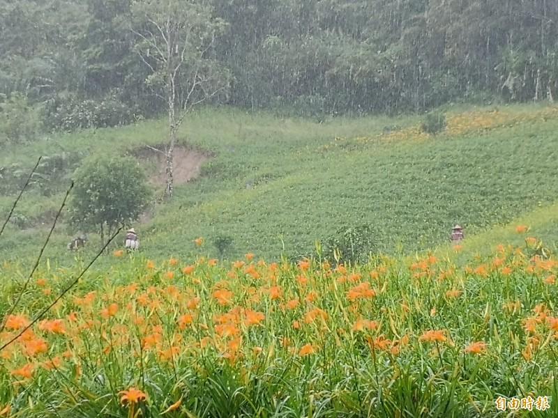 因為輕颱白鹿風勢不大只有降雨,山區的農民這兩天仍照常採收金針,沒有因為颱風就停止採收。(記者花孟璟攝)