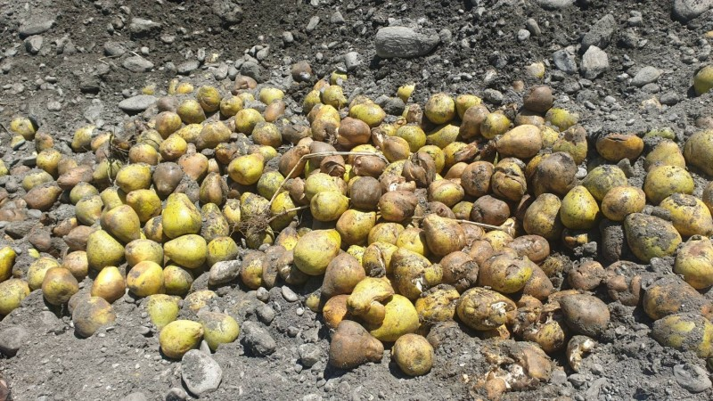 花蓮大果次級品進行田間堆肥使用。(民眾提供)