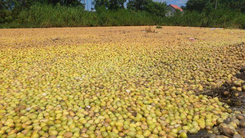 文旦柚大果次級品暫置田間,宛如文旦海,需經多天曝曬、熟成,並跟其他有機質攪拌混合後,歷經2至3個月,才能進行土壤改良。 (民眾提供)