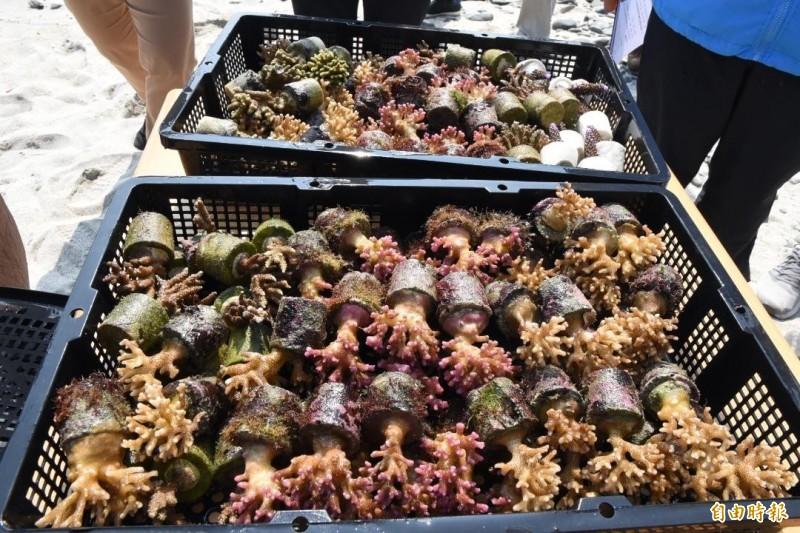 澎湖縣政府在杭灣海底花園,種植人工珊瑚。(記者劉禹慶攝)