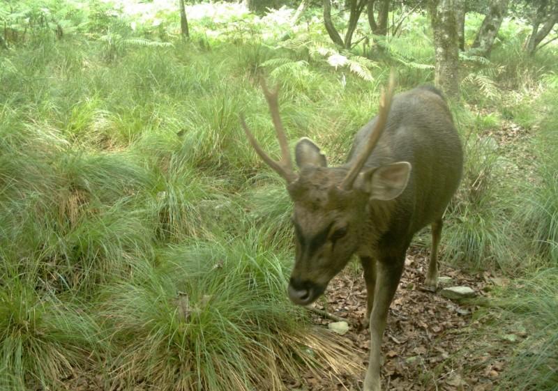 玉山園區近年出現水鹿啃咬樹皮,影響植物生長的情況,經研究發現可能是為補充鈣質養分,才會啃樹皮。(資料照,玉山國家公園管理處提供)