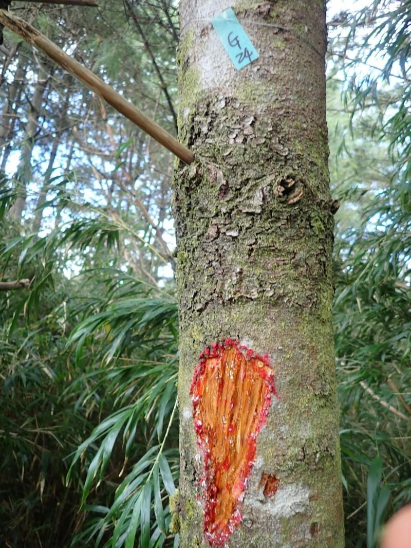 玉山園區近年出現水鹿啃樹皮的情況,像在塔塔加就有樹木被水鹿啃咬的痕跡。(玉山國家公園管理處提供)