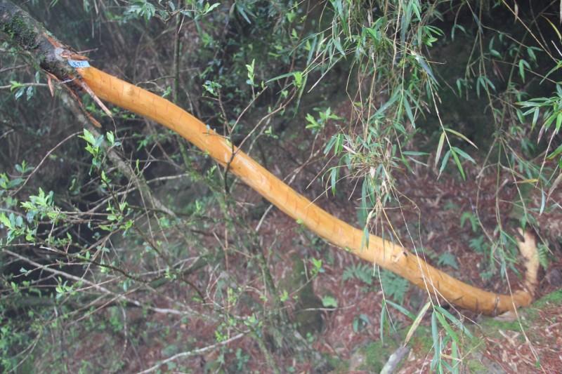玉山園區近年出現水鹿啃樹皮的情況,像在塔塔加就有褐毛柳遭水鹿「環狀剝皮」,威脅樹木生長。(玉管處提供)