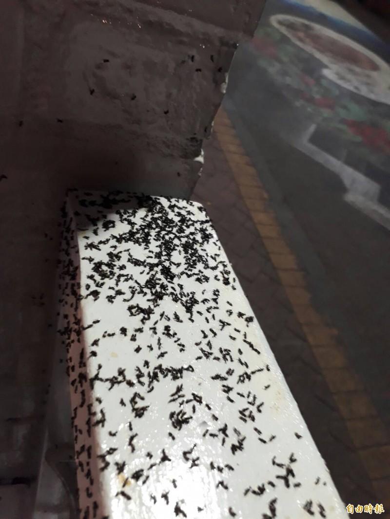 古坑華山也飽受褐色扁琉璃蟻危害,影響生活及店家生意。(記者黃淑莉攝)