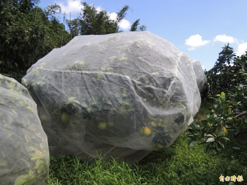 何清和栽種的柚子採友善耕作,為柚樹披上白紗防治病蟲害。(記者江志雄攝)