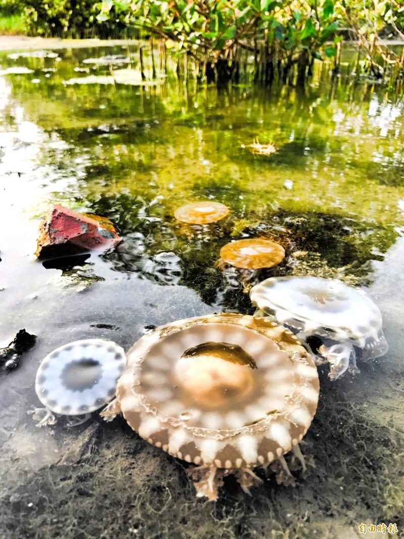 林園海洋濕地公園倒立水母開始回來了。(記者洪臣宏攝)