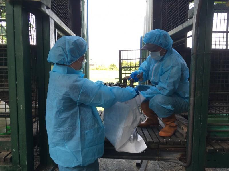 彰化縣動物防疫所今天完成全縣今年至今第1起民眾居家飼養家禽,爆出禽流感疫情的撲殺工作。(圖動防所提供)