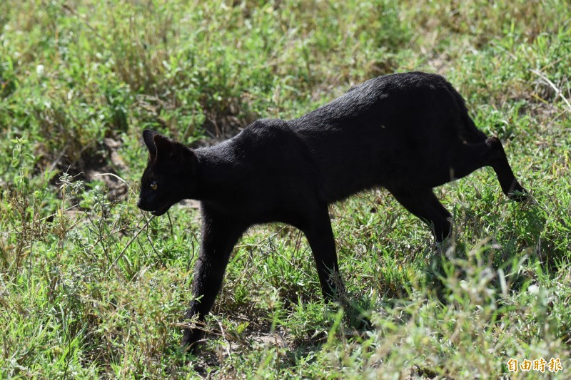 直擊極罕見野生黑化症藪貓。藪貓的特徵是修長四肢和顯眼的大耳朵。(記者吳亮儀攝)