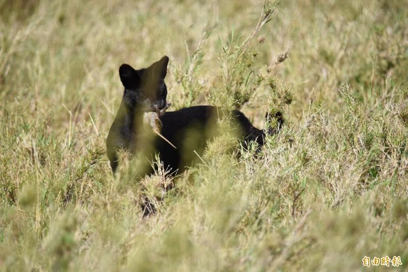 直擊極罕見野生黑化症藪貓,並觀察其獵殺小鼠。藪貓的特徵是修長四肢和顯眼的大耳朵。(記者吳亮儀攝)