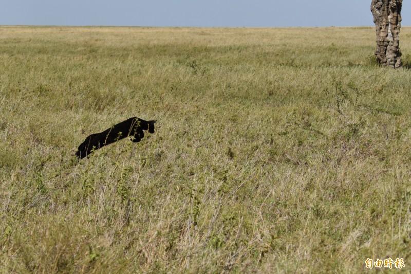 藪貓在非洲大草原上跳躍獵食小鼠等獵物。(記者吳亮儀攝)
